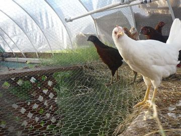 Raising chickens and black soldier flies 4 23 11 10 00am for Garden pool meetup